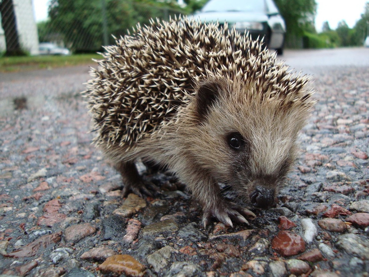What Happened When A Scientist Followed Hedgehogs On Their